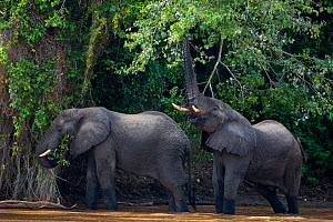 African forest elephants (Loxodonta cyclotis) walking through Tana River. Tana River Forest, South eastern Kenya.  -  Fiona Rogers