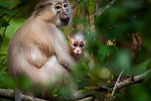 Tana mangabey (Cercocebus galeritus) female cuddling her baby.  Tana River Forest, South eastern Kenya. - Fiona Rogers