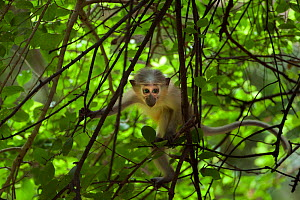 Tana mangabey (Cercocebus galeritus) infant aged 4-6 months playing in a tree. Tana River Forest, South eastern Kenya. - Fiona Rogers