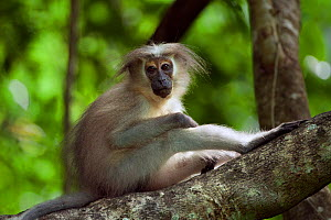 Tana mangabey (Cercocebus galeritus) sitting - portrait. Tana River Forest, South eastern Kenya. - Fiona Rogers