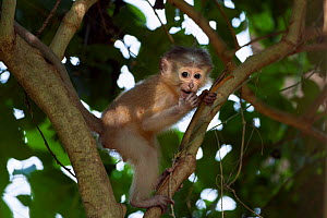Tana mangabey (Cercocebus galeritus) baby aged 3-4 months playing in a tree. Tana River Forest, South eastern Kenya. - Fiona Rogers