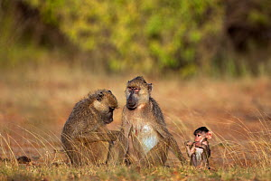 Yellow baboon (Papio cynocephalus) females grooming with baby aged 3-6 months. Tana River Forest, South eastern Kenya.  -  Fiona Rogers