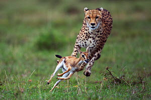 Cheetah (Acinonyx jubatus) cub aged around  one year about to bring down a Thomson's gazelle fawn (Eudorcas thomsonii /Gazella thomsonii). Maasai Mara National Reserve, Kenya.  -  Anup Shah