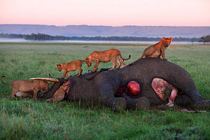 Lion (Panthera leo) pride feeding on an elephant carcass that has died from natural causes. Maasai Mara National Reserve, Kenya.  -  Anup Shah