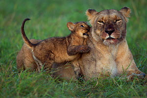 Lioness (Panthera leo) with playful cub aged about months Maasai Mara National Reserve, Kenya. - Anup Shah