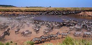 Common or plains zebra (Equus quagga burchelli) and Eastern White-bearded Wildebeest (Connochaetes taurinus) mixed herd crossing the Mara River. Maasai Mara National Reserve, Kenya. - Anup Shah