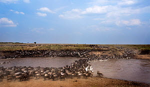 Eastern White-bearded Wildebeest (Connochaetes taurinus) herd crossing the Mara River. Maasai Mara National Reserve, Kenya. - Anup Shah