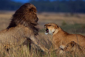 Lioness (Panthera leo) rejecting a male's advances Maasai Mara National Reserve, Kenya. - Anup Shah