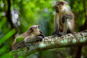 Tana mangabey (Cercocebus galeritus) juveniles resting on a branch. Tana River Forest, South eastern Kenya. - Anup Shah