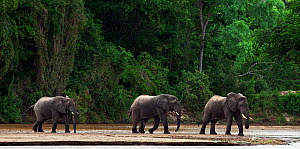 African forest elephants (Loxodonta cyclotis) walking through Tana River. Tana River Forest, South eastern Kenya.  -  Anup Shah