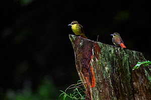 Red-tailed bristlebill (Bleda syndactyla woosnami) pair perched on a tree stump. Kakamega Forest South, Western Province, Kenya.  -  Anup Shah