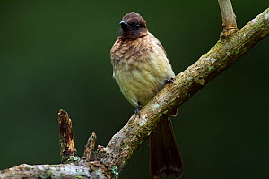 Common Bulbul (Pycnonotus barbatus). Kakamega Forest South, Western Province, Kenya. Kakamega Forest South, Western Province, Kenya.  -  Anup Shah