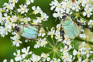 Flower chafers (Hoplia argentea) feeding on pollen of an umbellifer. Nordtirol, Austrian Alps, July. - Alex  Hyde