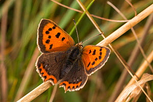 Small copper butterfly (Lycaena phlaeas) in meadow. Peak District National Park, Derbyshire, UK, September.  -  Alex  Hyde