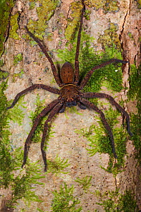 Huntsman spider (Sparassidae) on tree trunk. Danum Valley, Sabah, Borneo. - Alex  Hyde