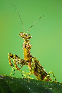 Praying mantis (Mantodea) with moss-like markings that provide camouflage. Danum Valley, Sabah, Borneo.  -  Alex  Hyde