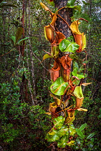 Large aerial pitchers of Veitch's pitcher plant (Nepenthes veitchii) growing up a tree trunk. Maliau Basin, Sabah, Borneo. - Alex  Hyde