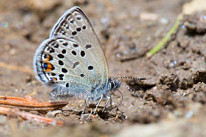 Cranberry blue (Plebejus optilete) 'mud-puddling' to extract scarce minerals such as sodium. Nordtirol, Austrian Alps, July. - Alex  Hyde