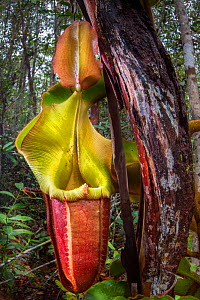 Large aerial pitcher of Veitch's pitcher plant (Nepenthes veitchii) growing up a tree trunk. Maliau Basin, Sabah, Borneo. - Alex  Hyde