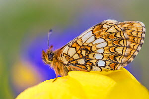 Heath fritillary (Melitaea athalia) Nordtirol, Austrian Alps, June.  -  Alex  Hyde