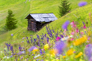Wildflowers and hut in alpine meadow, Nordtirol, Austrian Alps, July.  -  Alex  Hyde
