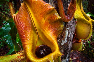 Large aerial pitchers of Veitch's pitcher plant (Nepenthes veitchii) growing up a tree trunk, showing captured fly. Maliau Basin, Sabah, Borneo. - Alex  Hyde
