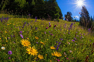 Alpine meadow, Nordtirol, Austrian Alps, July 2014. - Alex  Hyde