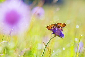 False heath fritillary (Melitaea diamina) Nordtirol, Austrian Alps, July.  -  Alex  Hyde