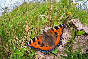 Small tortoiseshell butterfly (Aglais urticae) feeding on cow dung. Peak District National Park, Derbyshire, UK, September. - Alex  Hyde