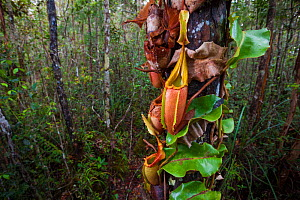 Large aerial pitchers of Veitch's pitcher plant (Nepenthes veitchii) growing up a tree trunk. Maliau Basin, Borneo. - Alex  Hyde