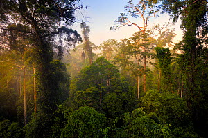 Lowland dipterocarp rainforest canopy at dawn. Danum Valley, Sabah, Borneo, May 2011. - Alex  Hyde