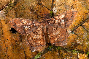 Leaf-mimicking moth (Amblychia sp) camouflaged against dead leaf. Maliau Basin, Sabah, Borneo.  -  Alex  Hyde