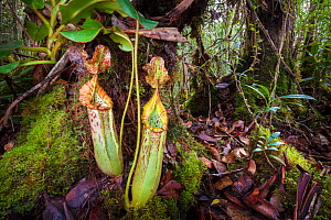 Pitcher plant (Nepenthes veitchii x stenophylla), a natural hybrid. Maliau Basin, Borneo. - Alex  Hyde