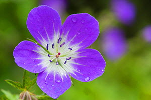 Wood cranesbill (Geranium sylvaticum) Nordtirol, Austrian Alps, July.  -  Alex  Hyde