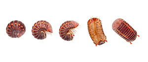 Sequence of Pill millipede (Glomeridae) unrolling from a defensive position, Danum Valley, Sabah, Borneo. Digital composite. - Alex  Hyde