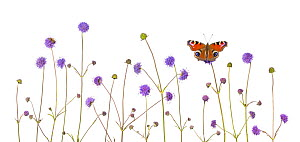 Devil's-bit scabious (Succisa pratensis) and Peacock butterfly (Inachis io) Peak District National Park, Derbyshire, UK, September. Digital composite. - Alex  Hyde