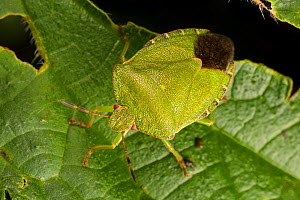 Green shield bug (Palomena prasina) Norfolk Broads, UK, September. - Alex  Hyde
