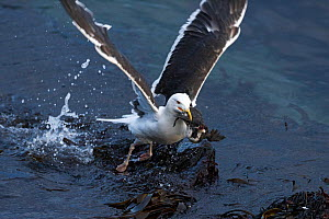 Great black-backed gull (Larus marinus) taking off from water with Common Guillemot (Uria aalge) chick taking off, Hornoeya. Finnmark, Norway, July. - Erlend  Haarberg