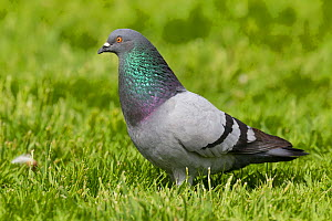 Feral pigeon (Columba livia) walking on short grass, with neck puffed up and iridescent in the sunshine. Visby, Gotland Island, Sweden. June.  -  Brent  Stephenson