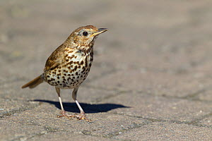 Song thrush (Turdus philomelos) standing on a path. Tresco, Isles of Scilly, United Kingdom. July.  -  Brent  Stephenson