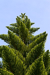 Norfolk pine (Araucaria heterophylla) tree against a clear blue sky in the Abbey Gardens, Tresco, Isles of Scilly, United Kingdom. July.  -  Brent  Stephenson