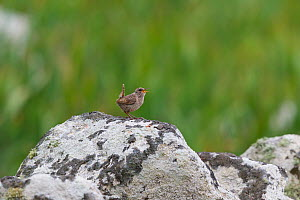 Male St Kilda wren (Troglodytes troglodytes hirtensis) singing from an exposed perch on top of a stone wall. This is the subspecies found on St Kilda. St Kilda, Outer Hebrides, Scotland. July.  -  Brent  Stephenson