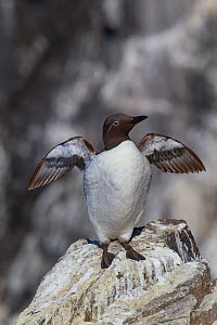 Common guillemot (Uria aalge) bridled form, with the white ring around the eye. Standing on a rock on the edge of a cliff and flapping its wings. Isle of May, Firth of Forth, Scotland. July.  -  Brent  Stephenson