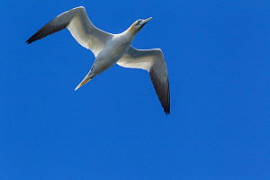 Northern gannet (Morus bassanus) in flight against a clear blue sky, Bass Rock, Firth of Forth, Scotland. July.  -  Brent  Stephenson