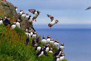 Atlantic puffins (Fratercula arctica) landing on the edge of the nesting cliff. Mykines, Faeroe Islands, North Atlantic. July.  -  Brent  Stephenson