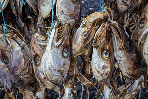 Atlantic cod (Gadus morhua) heads and skeletons drying on racks. Most of these are destined for markets in Nigeria. Reykjavik, Iceland. August. - Brent  Stephenson