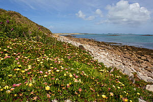 Introduced and invasive Hottentot fig or ice plant (Carpobrotus edulis) flowering along the base of the dunes. Tresco, Isles of Scilly, United Kingdom. May.  -  Brent  Stephenson
