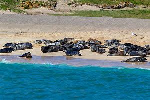 Grey seals (Halichoerus grypus) hauled out on a sandy beach. Mingulay, Outer Hebrides, Scotland. June.  -  Brent  Stephenson