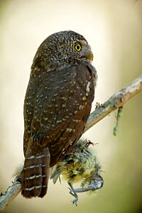 Pygmy owl (Glaucidium passerinum) perched with prey. Hedmark county, Norway, June.  -  Pal Hermansen