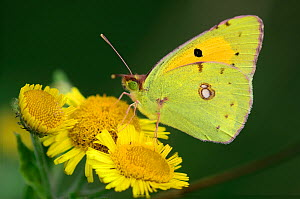 Clouded yellow butterfly (Colias croceus) on Fleabane. Dorset, UK, August.  -  Colin Varndell